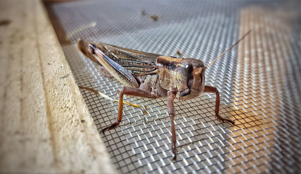 Grasshopper on a metal net
